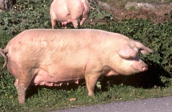 cerdo_moderno