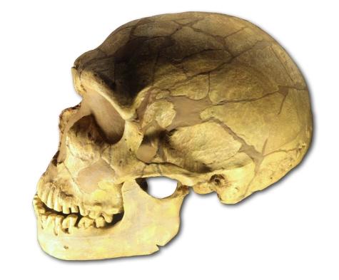 Ferrassie_skull_70mil