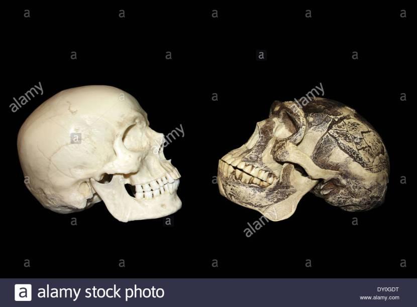 homo-sapiens-vs-zhoukoudian-choukoutien-homo-erectus-skull-DY0GDT