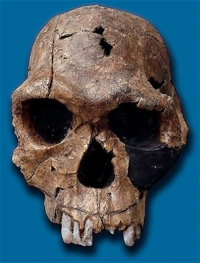 Homo_habilis-KNM_ER_1813
