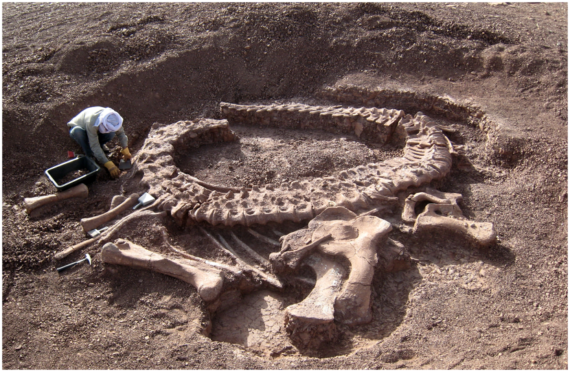 Spinophorosaurus_nigerensis,_holotype_skeleton_GCP-CV-4229_in_situ_during_excavation_in_the_region_of_Aderbissinat,_Thirozerine_Dept.,_Agadez_Region,_Republic_of_Niger_2009