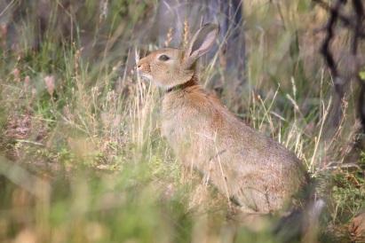 Conill salvatge